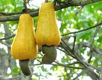 cashew appel