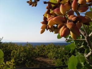 pistachenoten boom